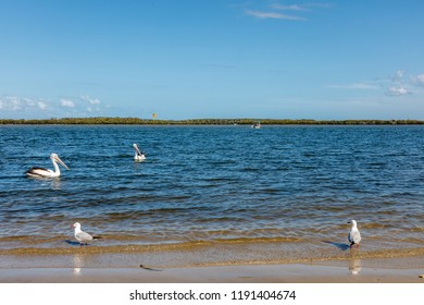 Australian pelicans and sea gulls at Golden Beach, Pelican Waters, Queensland, Australia