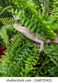 Australian pet blue tongued skink perched among green ferns on a sunny day