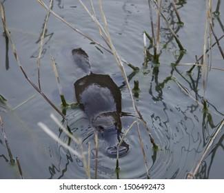 Australian platypus in the wild