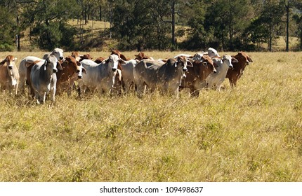 Australian Primary Industry Agriculture Beef Cattle herd of red and grey brahman cows
