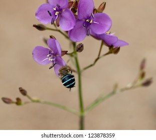 Australian purple mauve wildflower Murdannia graminea flowers and native solitary buzz bee blue banded bee Amagilla cingulata collecting pollen