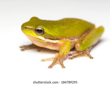 an australian pygmy frog on a white background
