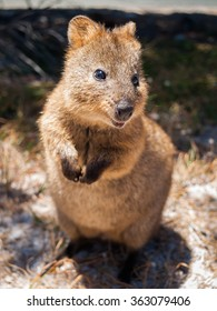 Australian Quokka on rottnest island looking  into the camera