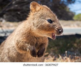 Australian Quokka on rottnest island profile