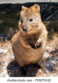 Australian Quokka on rottnest island looking  into the camera