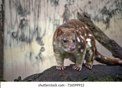 the Australian quoll is standing on a log