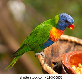 Australian rainbow lorikeet eating fruits with background for text