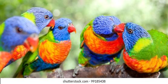 Australian rainbow lorikeets. Australia beautiful birds kissing on branch