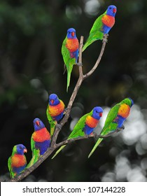 Australian rainbow lorikeets gathered on tree , byron bay, australia. group flock colorful parrots exotic birds in vibrant lush jungle tropical setting
