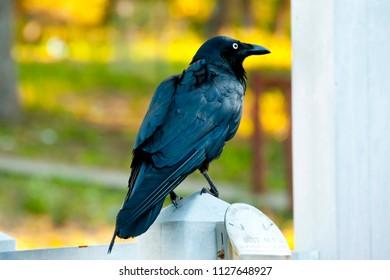 Australian Raven - Perth