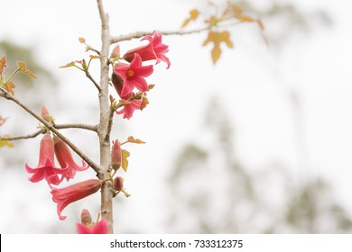 Australian red bell flowers of Brachychiton bidwillii in Spring on condolences background with copyspace for sympathy or greeting card for remembrance, celebration, death, funeral or tragedy