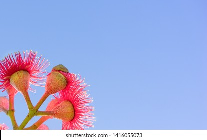Australian red flower with blue sky backgound copy space for greeting card