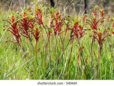 Australian red and green kangaroo paw - Western Australia's floral emblem