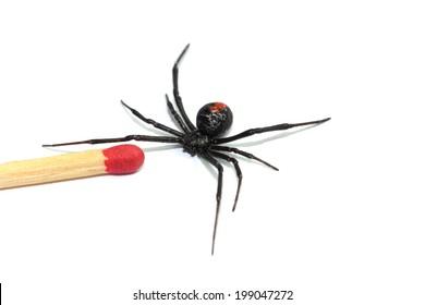 Australian redback spider on a white background