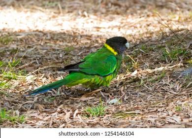 Australian ringneck, broad-tailed parrot bird in green blue on ground in Western Australia (Barnardius zonarius semitorquatus)