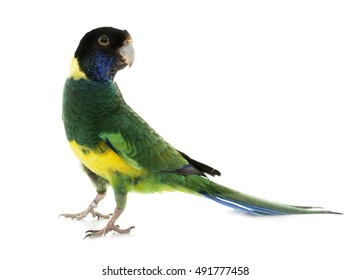 Australian ringneck in front of white background