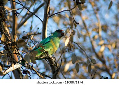 Australian Ringneck parrot seen in park, Quorn, South Australia