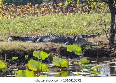 Australian Saltwater crocodile (Crocodylus porosus) with open mouth lying on riverbank Corroboree Billabong Darwin Northern Territory Australia