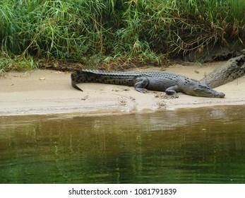 australian saltwater crocodile at daintree river, queensland