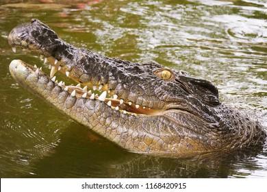 Australian saltwater crocodile head in North Queensland