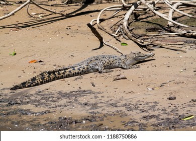 An Australian saltwater crocodile rests in the sun on the sandy river bank of the Daintree River in Far North Queensland.