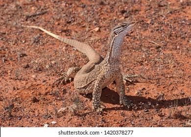 Australian Sand or Gould's Goanna