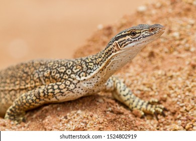 Australian Sand or Goulds Monitor