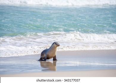 Australian sea lion (Neophoca cinerea) pup walking along the beach, at Seal Bay Conservation Park, Kangaroo Island, South Australia.