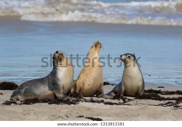 Australian sea lion, Neophoca cinerea, on the beach at Seal Bay, Kangaroo Island, South Australia, Australia.