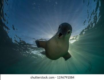 Australian sea lion, Neptune Islands, South Australia.