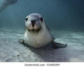 Australian sea lion resting on the sandy bottom, Neptune Islands, South Australia.