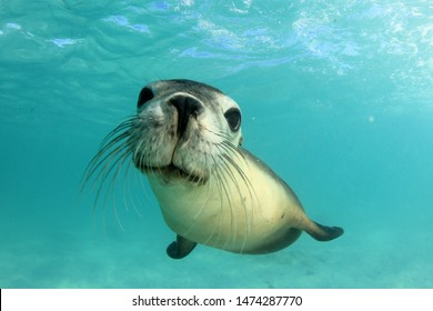 Australian Sea Lion. Underwater photo