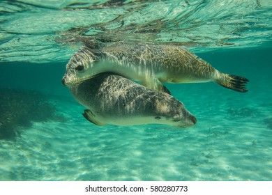 Australian sea lions at Green Head, Western Australia