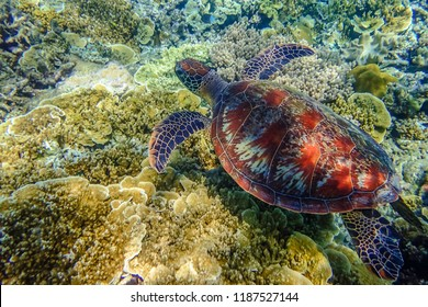 Australian Sea Turtle swimming in the Great Barrier Reef. Cairns, Far North Queensland, Australia. Close up.