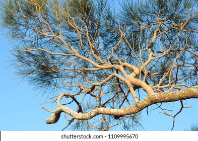 An Australian she oak tree is seen against a clear blue sky. The gnarled branches are a golden brown, with patches of lichen. The green leaves are needle shaped.