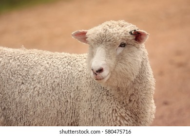 Australian sheep grown for meat and wool agricultural farming industry