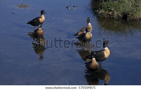 Australian Shelducks (Tadorna tadornoides) or Mountain Ducks  ,  large goose-like birds  part of the bird family Anatidae  standing  in a cool blue lake on a summer morning.