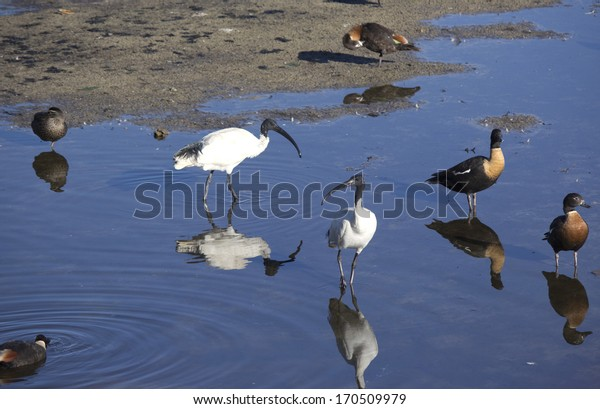 Australian Shelducks (Tadorna tadornoides) or Mountain Ducks  ,  large goose-like birds  part of the bird family Anatidae with sacred ibis standing  in a cool blue lake on a summer morning.