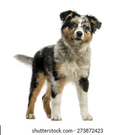 Australian Shepherd (3,5 months old) in front of a white background