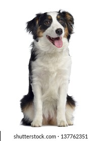 Australian Shepherd, 8 months old, sitting and panting, isolated on white