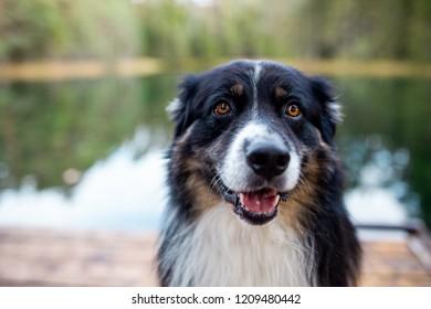 Australian Shepherd Aslan