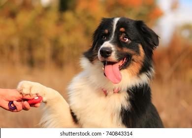 Australian shepherd attentive