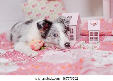 Australian Shepherd (Aussie ), 3 months old, sitting against Romantic pink decorations. Little Princess