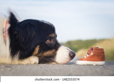 Australian shepherd with a baby shoes