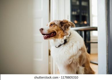 Australian Shepherd Brown
