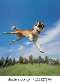 an australian shepherd collie jumping high in the air in a wide angle shot playing and fetching a frisbee disc