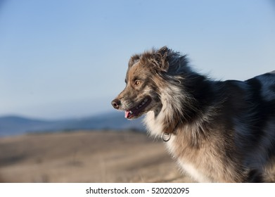 Australian Shepherd dog.  Beautiful blue sky background with place for a quote.