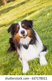 Australian shepherd dog with a bow tie outdoors