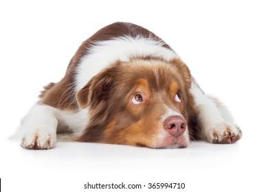 Australian Shepherd dog breed dog red merle lying on floor and looks sad aside