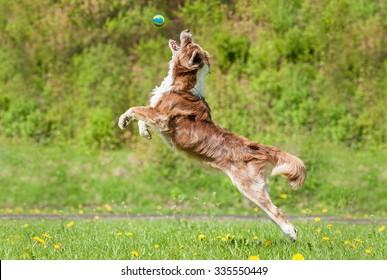 Australian shepherd dog catching ball in the air